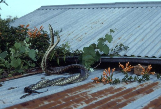 Snakes fighting on the roof-ozara gossip